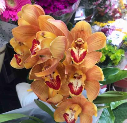 Cymbidium, Hybrid, Orchidaceae