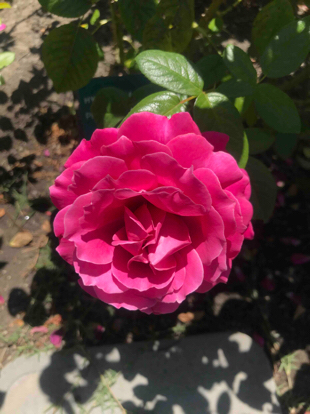 Rose, Hybrid tea, 'Pretty Lady Rose', Rosaceae