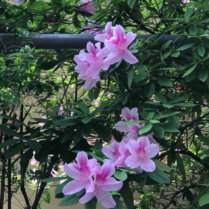 Azalea, Rhododendron