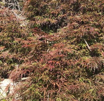Acer palmatum, var. dissectum atropurpureum