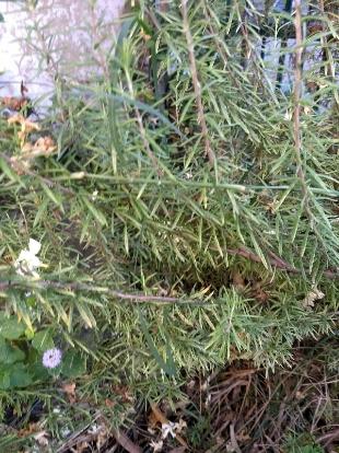 Grass, Evergreen