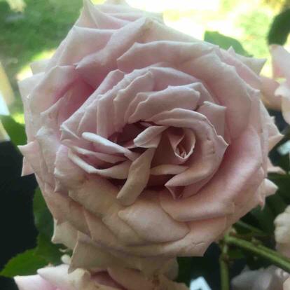 Rose, 'Frederic Mistral'