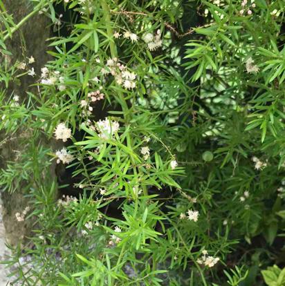 Asparagus densiflorus, 'Sprengeri'