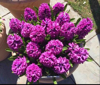 Hyacinthus orientalis, 'Miss Saigon'