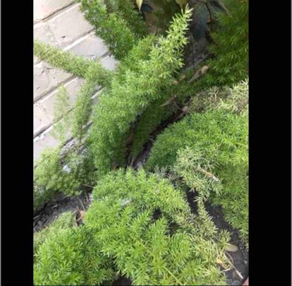 Asparagus densiflorus, 'Myers'