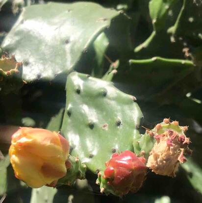 Opuntia, 'Ficus indica'