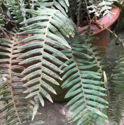 Pleopeltis hirsutissima