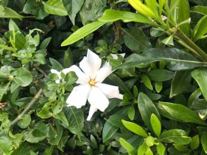 "Gardenia, augusta radicans, ""Kimura"""