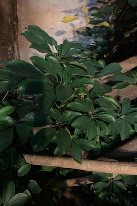 Aralia Arboricola