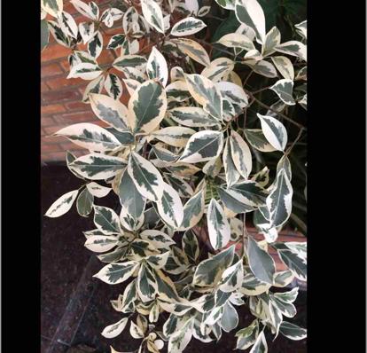 Ficus  benjamina, 'variegated'