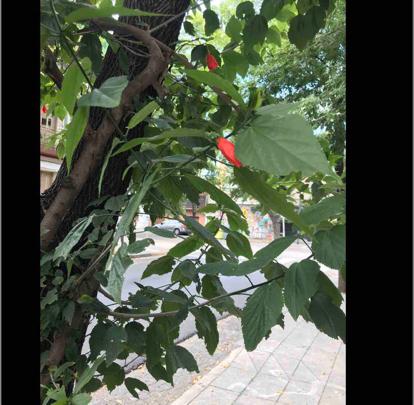 Hibiscus striatus