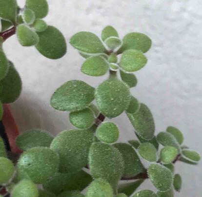 Crassula expansa, ssp. fragilis