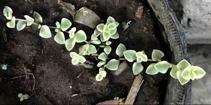 Crassula pellucida, marginalis variegata