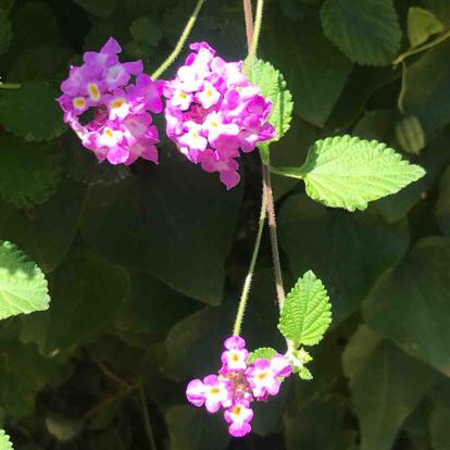 flower magenta lantana Verbena lantana camara verbena family