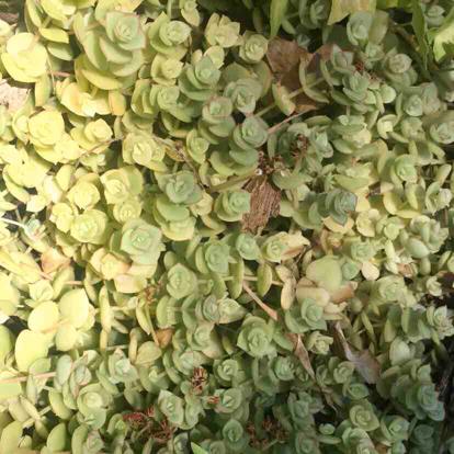 Crassula pellucida, 'ssp. marginalis'
