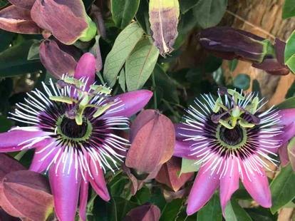 flower, Passion Flower, passion flower family, terrestrial plant, purple passionflower