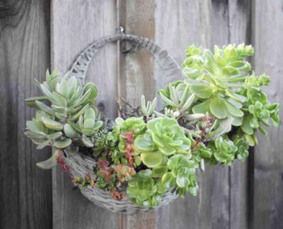 flower, vascular plant, succulent plant, echeveria