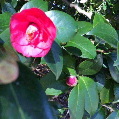 Camellia, 'Coral delight'