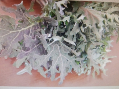 Brassica oleracea var. sabellica