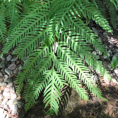 Lophosoria quadripinnata