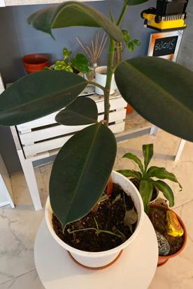 Ficus eslastica