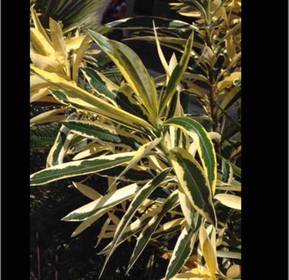 Nerium oleander,'Variegata'