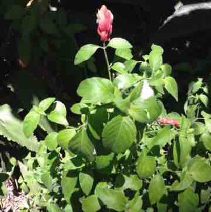 Beloperone gutata