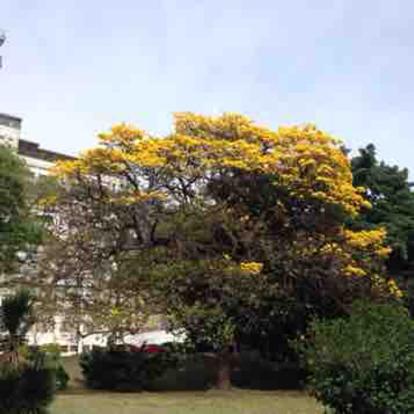 Handroanthus pulcherrimus