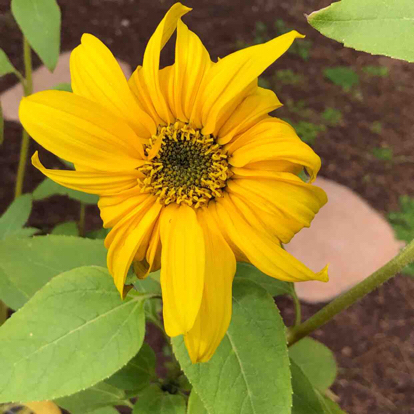 flower daisy family Black-eyed Susan sunflower
