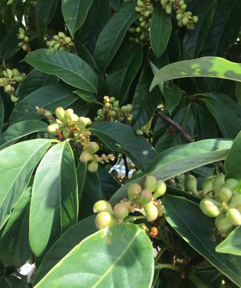 menispermaceae, terrestrial plant, fruit tree