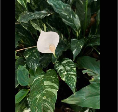 Syngonium variegated