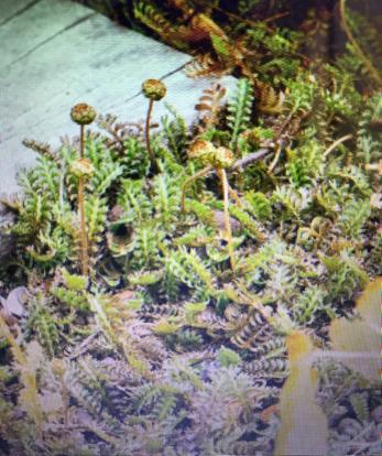 flower, Globe Thistle, vascular plant, terrestrial plant
