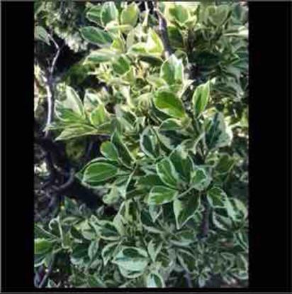 Ficus, 'variegated'