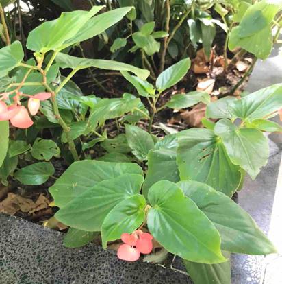 Begonia semperflorens