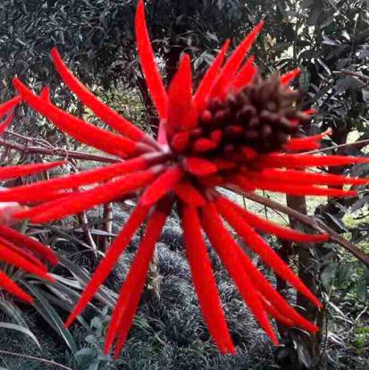 Erythrina coralloides