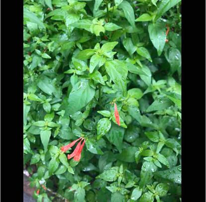 flower, shrub