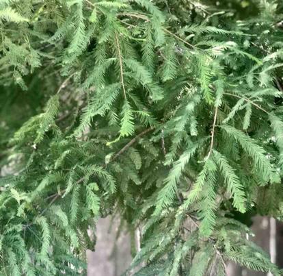 Taxodium distchum