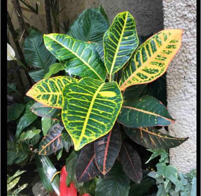 Codiaeum variegatum, Croton