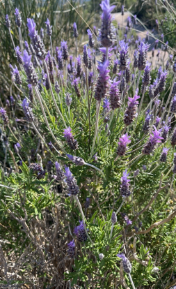 aromatic plant