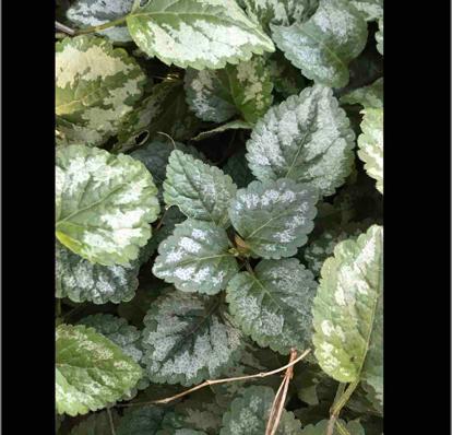 Lamium galeobdolon, subsp. argentatum