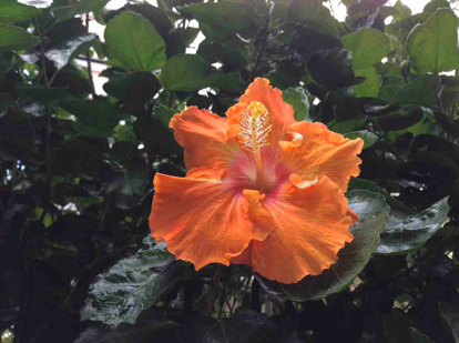Hibiscus siriacus