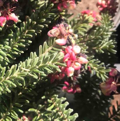 Grevillea lanigera, 'Mount Tamboritha'