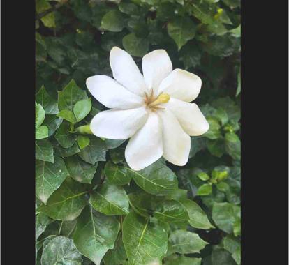 Gardenia Thumbergia