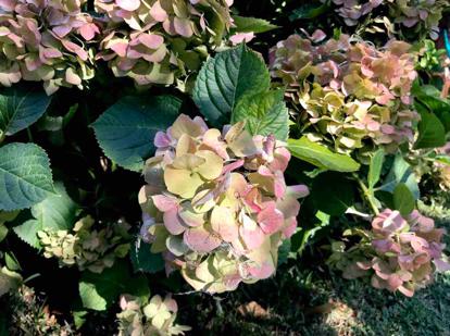 flower, hydrangea, shrub, hydrangeaceae, cornales, hydrangea serrata
