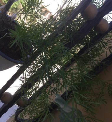 Asparagus, Densiflorus Sprengeri