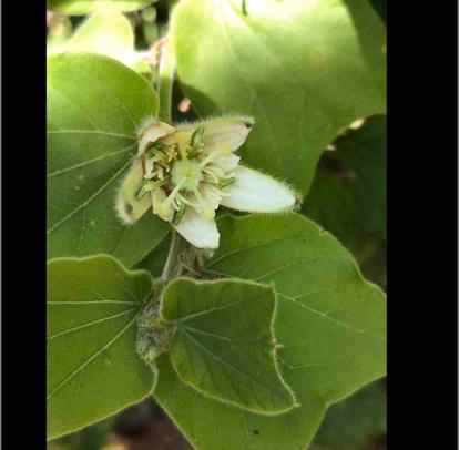 Passiflora pohlii