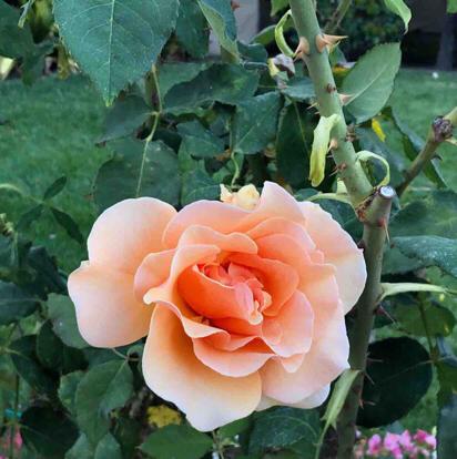 flower, floribunda, Rose, garden roses, rose family