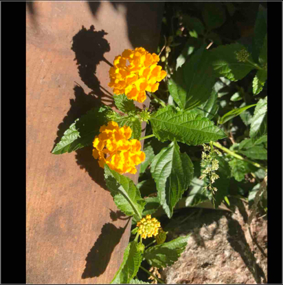 Lantana sellowiana