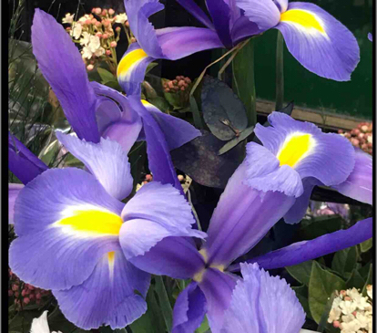 Iris x hollandica, 'Blue magic'
