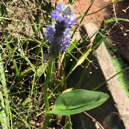 flower, plantago, Delphinium, bellflower family, scilla, broomrape, verbascum